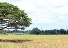 Árbol en el campo y el fondo de la nube En el tiempo del mediodía Fotos de archivo