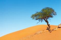 Árbol en el desierto de Sáhara Fotografía de archivo