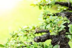 Árbol en el jardín, uso de los bonsais de la imagen para que plantado adorne foto de archivo libre de regalías