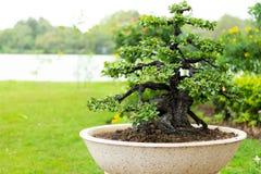 Árbol en el jardín, uso de los bonsais de la imagen para que plantado adorne imagen de archivo