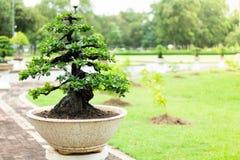 Árbol en el jardín, uso de los bonsais de la imagen para que plantado adorne fotos de archivo