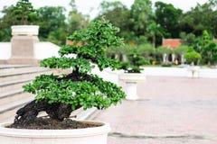 Árbol en el jardín, uso de los bonsais de la imagen para que plantado adorne imagenes de archivo