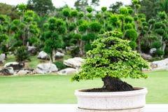 Árbol en el jardín, uso de los bonsais de la imagen para que plantado adorne fotografía de archivo libre de regalías
