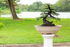 Árbol en el jardín, uso de los bonsais de la imagen para que plantado adorne foto de archivo