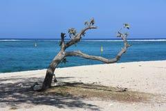 Árbol en el Le Morne Beach, Mauricio Imagen de archivo