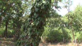 Árbol en el parque búlgaro Rosinets metrajes