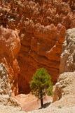 Árbol en el parque de la barranca del bryce, Utah Fotografía de archivo libre de regalías
