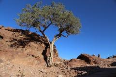 Árbol en el Petra del desierto, Jordania Imagen de archivo libre de regalías