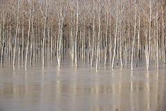 Árbol en el río lleno El paisaje de la primavera con los árboles de abedul y el derretimiento riegan en el lago o el río Imagenes de archivo
