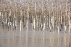 Árbol en el río lleno El paisaje de la primavera con los árboles de abedul y el derretimiento riegan en el lago o el río Foto de archivo