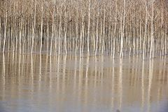 Árbol en el río lleno El paisaje de la primavera con los árboles de abedul y el derretimiento riegan en el lago o el río Fotografía de archivo libre de regalías