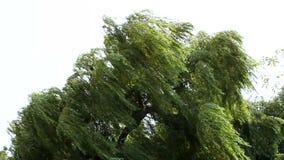 Árbol en el viento almacen de video