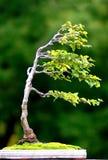 Árbol en el viento Imágenes de archivo libres de regalías