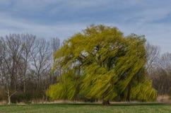 Árbol en el viento Fotos de archivo