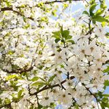 Árbol en flor Fotografía de archivo
