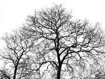 Árbol en invierno en nieve en el fondo blanco Fotos de archivo libres de regalías