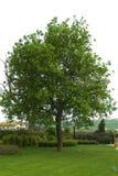 Árbol en jardín imagen de archivo libre de regalías
