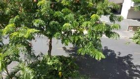 Árbol en la calle Waikiki Hawaii foto de archivo