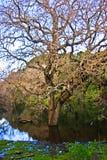 Árbol en la charca Imagenes de archivo