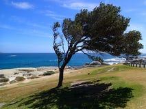 Árbol en la costa de Cape Town Fotografía de archivo