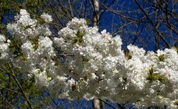Árbol en la floración foto de archivo libre de regalías