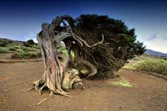 Árbol en la isla del EL Hierro, islas Canarias Imagen de archivo libre de regalías