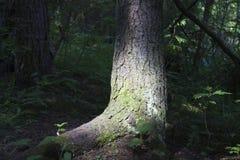 Árbol en la más forrest Foto de archivo