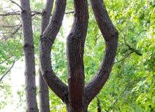 Árbol en la madera bajo la forma de tridente, el personal de Neptuno fotos de archivo