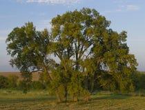Árbol en la pradera Neal Smith Wildlife Refuge Imagen de archivo libre de regalías