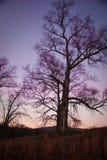Árbol en la puesta del sol con el cielo púrpura Foto de archivo libre de regalías
