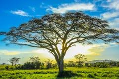 Árbol en la sabana africana en la puesta del sol Imágenes de archivo libres de regalías