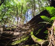 Árbol en la selva Hojas verdes del helecho imagenes de archivo