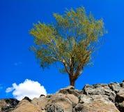 Árbol en las rocas Imagen de archivo libre de regalías