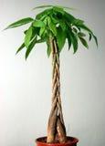 Árbol en maceta foto de archivo