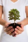 Árbol en manos femeninas Fotos de archivo libres de regalías