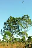 Árbol en Myakka Fotografía de archivo
