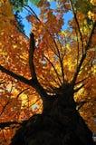 Árbol en otoño Fotos de archivo libres de regalías