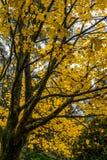 Árbol en otoño o caída fotografía de archivo