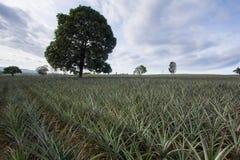 Árbol en planta de piña Fotografía de archivo libre de regalías