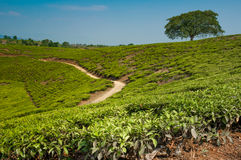 Árbol en plantaciones de té Imagenes de archivo
