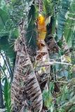 Árbol en Pretoria, Suráfrica Fotografía de archivo libre de regalías