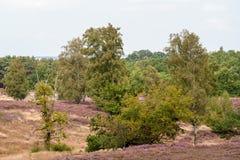Árbol en primero plano con el brezo y abedules y coníferas florecientes en fondo en el día Foto de archivo libre de regalías