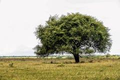 Árbol en sabana Imagenes de archivo
