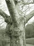 Árbol en sepia Foto de archivo