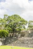 Árbol en sitio del maya del ¡n de Copà en Honduras Fotografía de archivo libre de regalías