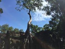 Árbol en TA Prohm Imagen de archivo libre de regalías