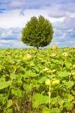 árbol en un campo de los girasoles Imagen de archivo libre de regalías
