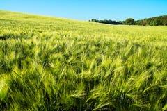 Árbol en un campo de trigo Fotografía de archivo libre de regalías