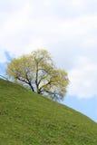 Árbol en un sidehill en resorte. Imagenes de archivo
