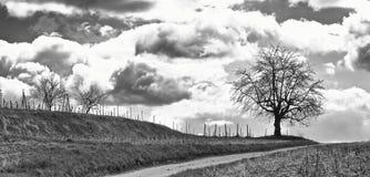 Árbol en un viñedo BW Imagen de archivo libre de regalías